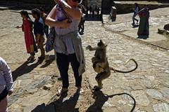 _DSC2457_DxO (Alexandre Dolique) Tags: d810 inde udaipur rajasthan kumbhalgarh fort kumbalgar singe monkey attaque attack india