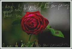 A red rose (mamietherese1) Tags: roses textures redpassion beautysecret anawesomeshot memoriesbook artistictreasurechest