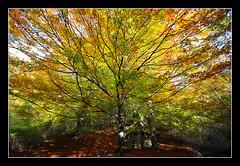 Udazkeneko koloreak (koldoc) Tags: autumn trees fall colors leaves hojas arboles colores otoo euskalherria basquecountry haya navarra pasvasco ramas adarrak pagoa nafarroa 10mm zuhaitzak urbasa udazkena koloreak hostoak efs1022mmf3545usm eos40d bakedao amezkoabehekoa
