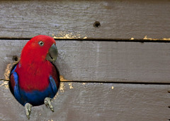 Red and blue Parrot - Papua New guinea (Eric Lafforgue) Tags: pictures photo picture eclectus ethnology ethnologie eclectusroratus femaleeclectus png5794