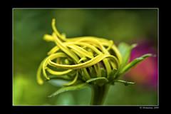 Swinging colors (Thomaniac) Tags: plant flower color macro yellow closeup canon eos flora bright blossom vibrant natur pflanze vivid swing gelb blume blüte nahaufnahme farben leuchtend kräftig efs60mmmacro 450d thomaniac
