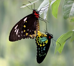 IMG_4081 Mating Cairns Birdwing (tco1961) Tags: house butterfly o harbour ngc australia chun thong nsw coffs onn beautifulmonsters tco1961 mygearandme mygearandmepremium mygearandmebronze mygearandmesilver mygearandmegold mygearandmeplatinum mygearandmediamond