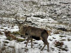 Deer 1/4