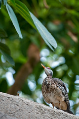 Sunbittern Prepping to Call