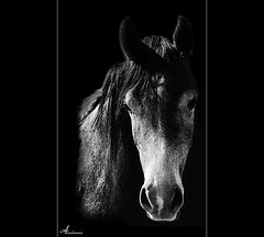 (ANOODONNA) Tags: horse canon حصان خيل 40d alrasheed alanood العنود الرشيد anoodonna