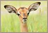 New life (hvhe1) Tags: africa baby cute nature animal southafrica searchthebest wildlife young ears safari impala antilope gamedrive interestingness2 naturesfinest malamala specanimal reverve hvhe1 hennievanheerden