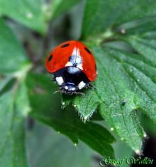 Single Lady (gustaf wallen) Tags: red black macro green nature bug ladybug lonely frommyarchive mywinners singleladies naturethroughthelens singlelady haveaswellweekendall