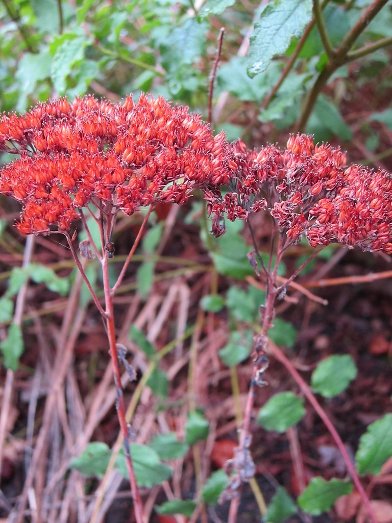 Sedum seedheads in winter