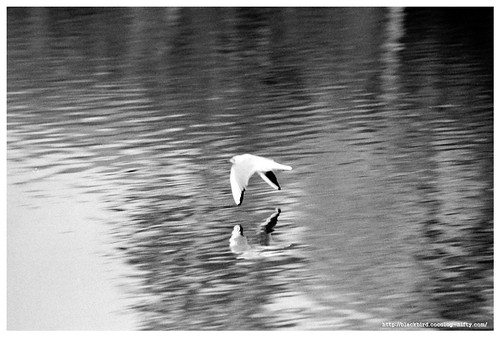 Black-headed Gull 100211 #4