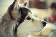 [フリー画像] [動物写真] [哺乳類] [イヌ科] [犬/イヌ]       [フリー素材]