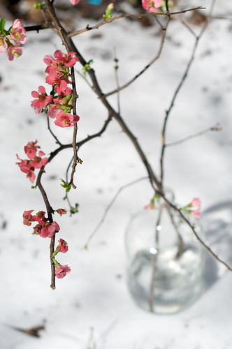 quince blossoms in brooklyn