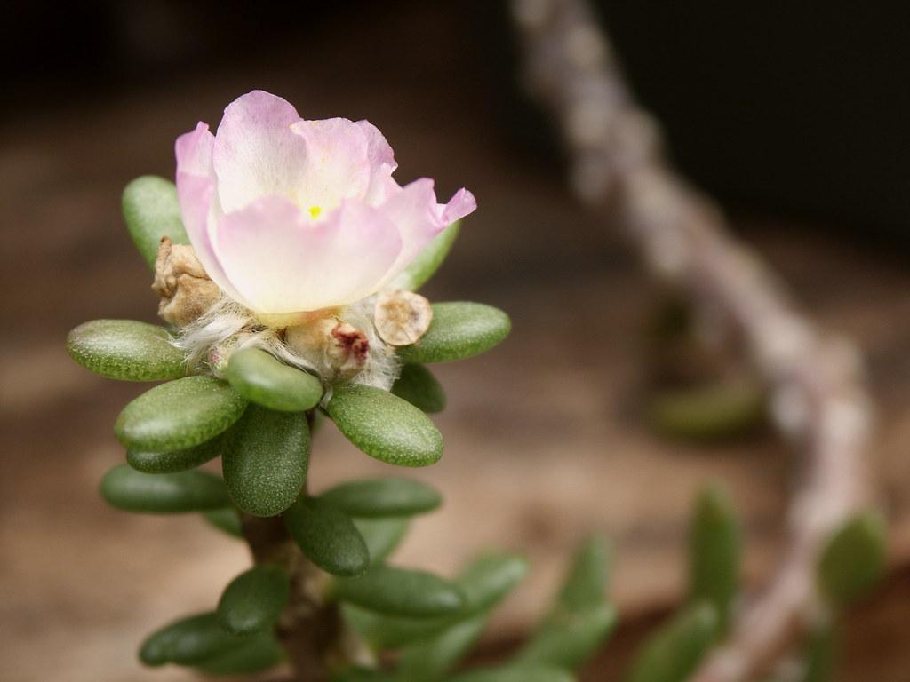 Portulaca villosa 'pink'