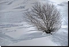 ENTERRADO EN LA NIEVE - ALTO DE LA MORCUERA (MADRID-SPAIN) (ABUELA PINOCHO ) Tags: madrid españa arbol spain nieve invierno sombras frio enterrado arbusto mirafloresdelasierra a3b altodemorcuera