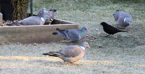 Pigeons and Stock Dove