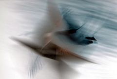 Flight (Explored) (Janina Leonaviciene) Tags: motion blur color bird birds fly flying duck wings movement fuji flight wing explore drake legacy flap lithuania lietuva longexposition paukiai explored antis idream flickraward allxpressus madic goldstaraward judesys janinaleo limajulija sailsevenseas flickraward5 flickrawardgallery