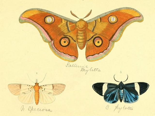 Plate showing moth illustrations from Illustrations of exotic entomology