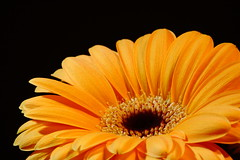 Gerbera (Paul Appleton) Tags: orange flower gerbera