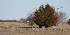 100321_Sandhill cranes_1783 (Lynnette_) Tags: birds spring nebraska sandhillcranes springmigration cranesbirdssandhillcranesnebraskaspringspringmigration cranesbirdssandhill cranesnebraskaspringspring migrationcranes