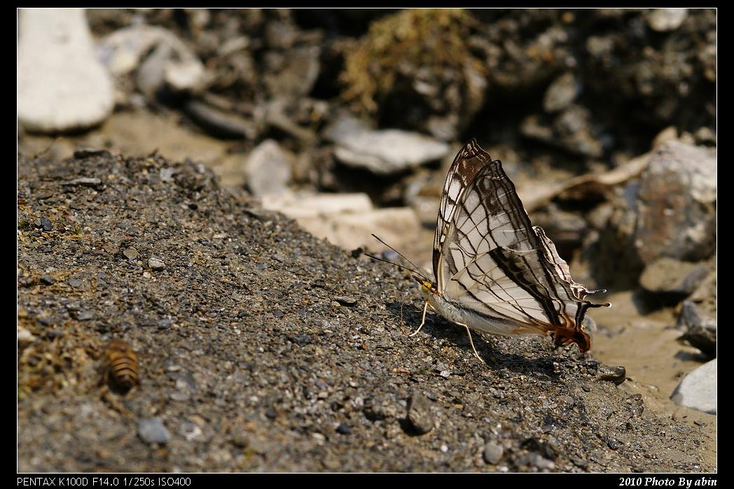 飛行蜓+地憩蝶