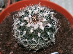 Stenocactus - echinofossulocactus - Zacatasensis (fab_rice2) Tags: cactus succulent collection seedlings grafting cactii mammilaria astrophytum titanopsis lophophora melocactus stenocactus echinofossulocactus trichocereusperuvianus zacatasensis pereskipsis