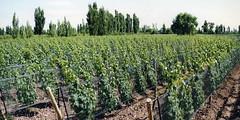 San Rafael: Viñedos locales se redujeron en 2 mil hectáreas