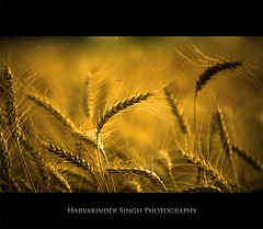 Happy Vaisakhi ! (Harvarinder Singh) Tags: people india canon photography golden university wheat celebration april punjab 13 pau agricultural punjabi singh ludhiana vaisakhi 13april baisakhi visakhi canon70200mmlis idream canon5dmarkii harvarinder vaisaakhi baisaakhi visaakhi