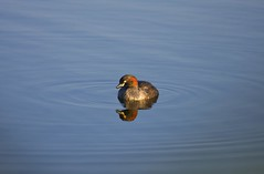 Reflection on blue 1 (ozoutback1) Tags: nature birds canon eos reserve australia wetlands canberra act grebe australasian jerrabomberra 40d