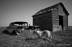 Dog Times (/ shadows and light) Tags: old cars chevrolet abandoned dogs monochrome grass rural decay grain shed manitoba vehicles exploration automobiles decayed biscayne beaters clunkers tamron2875mmf28 rurex pembinavalley