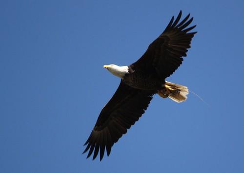 Bald Eagle - 3/12/2010
