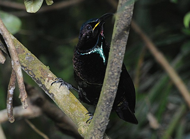 victoria's riflebird1