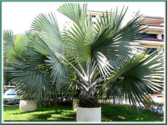 Juvenile Bismarckia nobilis (Bismarck Palm, Bismark Palm) in large concrete containers at Hospital UKM, Kuala Lumpur