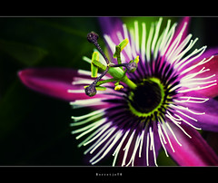 Flower Macro: Color Burst ....  ....  ....[explored] (Borretje76) Tags: flower macro netherlands colors beautiful dutch up closeup dof close bokeh iso400 sony extreme sigma explore violacea passiflora burst f56 antenna bloem 180mm passiebloem explored a580 gupr borretje76 dslra580