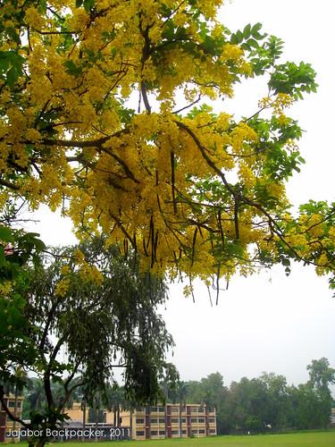 সোনালু (Shonalu - Cassia fistula)