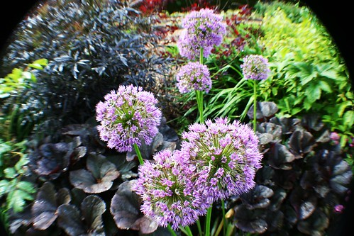 Allium at Greenbank Garden