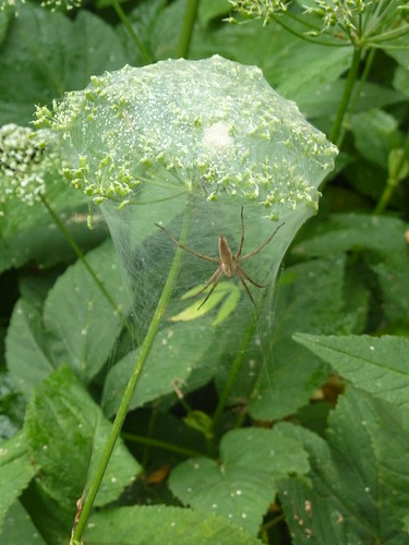 Nursery Web Spider