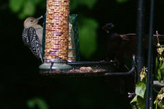DSC00785 (dmarie13) Tags: nature birds june lens backyard connecticut sony newengland northhaven 2011 a900 sal70400g