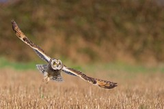 Short-eared Owl (redmanian) Tags: shortearedowl portlandbill ianredman bird