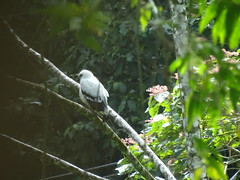 ave Parque Volcan Arenal La Fortuna Costa Rica 09 (Rafael Gomez - http://micamara.es) Tags: parque volcán arenal animales fauna la fortuna costa rica volcan animal arbol arboles