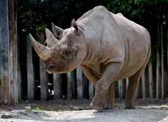 Spitzmaulnashorn - Black Rhinoceros (BlaM4c) Tags: animal geotagged deutschland zoo kln deu nordrheinwestfalen rhinoceros tier blackrhinoceros nashorn spitzmaulnashorn riehl zookln dicerosbicornis hooklippedrhinoceros