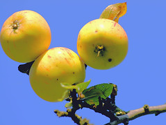 Apfelhimmel (niedersachsenfoto) Tags: apfel apfelbaum äpfel niedersachsenfoto