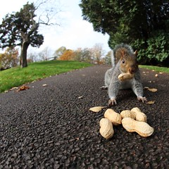 Nicking nuts (*Firefox) Tags: bristol squirrel cal greysquirrel brandonhill canonef15mmf28fisheye canoneos5dmarkii cal09