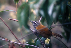 Thryothorus eisenmanni MPicchu PE 8-96 (barbetboy) Tags: thryothorus fbwnewbird fbwadded incawren thryothoruseisenmanni pheugopediuseisenmanni