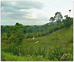 Costa Rica (CameliaTWU) Tags: trees clouds cattle hills pasture hedge heredia whitecows cistarica