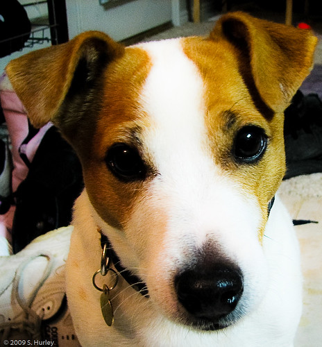 short hair jack russell