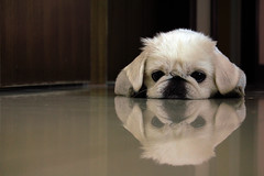 :| [Explored!] (starsinmysocks) Tags: life dog pet reflection floor random pekinese | nikond40 doggard