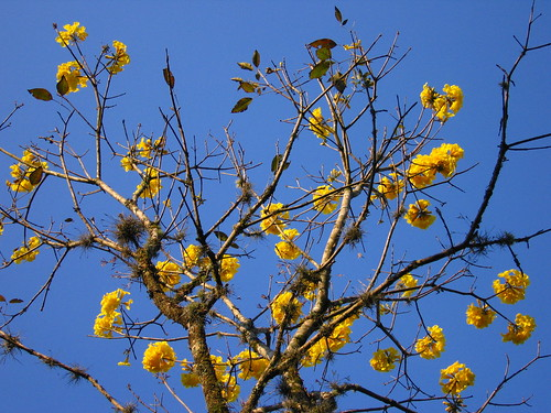 yellow trees Brazil flowers Ipe nature sky Tabebuia