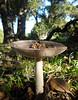 grisette mushroom - amanita vaginata