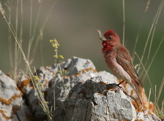 (AmirHosssein) Tags: bird iran wildlife  purplefinch carpodacuspurpureus