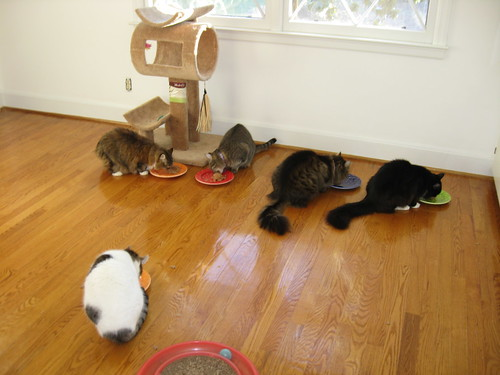 All 5 kitties are enjoying their breakfast!