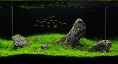 60cm ADA Iwagumi (George Farmer) Tags: plants fish nature water aquarium ada rocks tank amano aquascape planted pfk tgm iwagumi ukaps